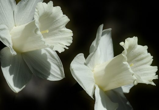 fleurs de päques